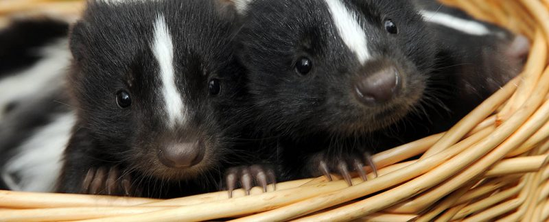 Skunks as Pets