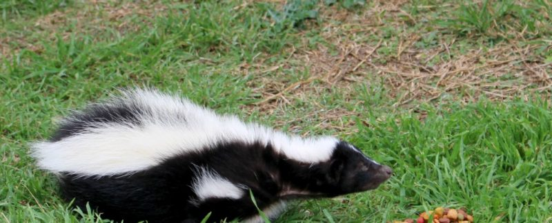 Eating Habits and Diet of a Skunk