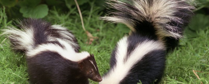 Skunk Diseases that can be Transmitted