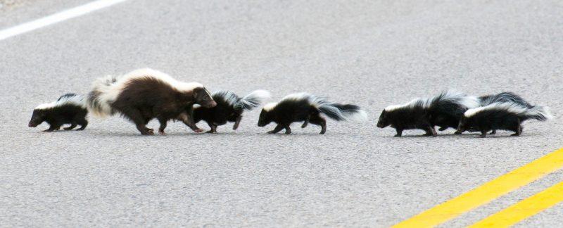 Skunk Families