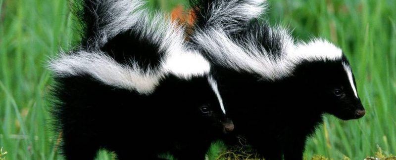 Skunk Mating Habits