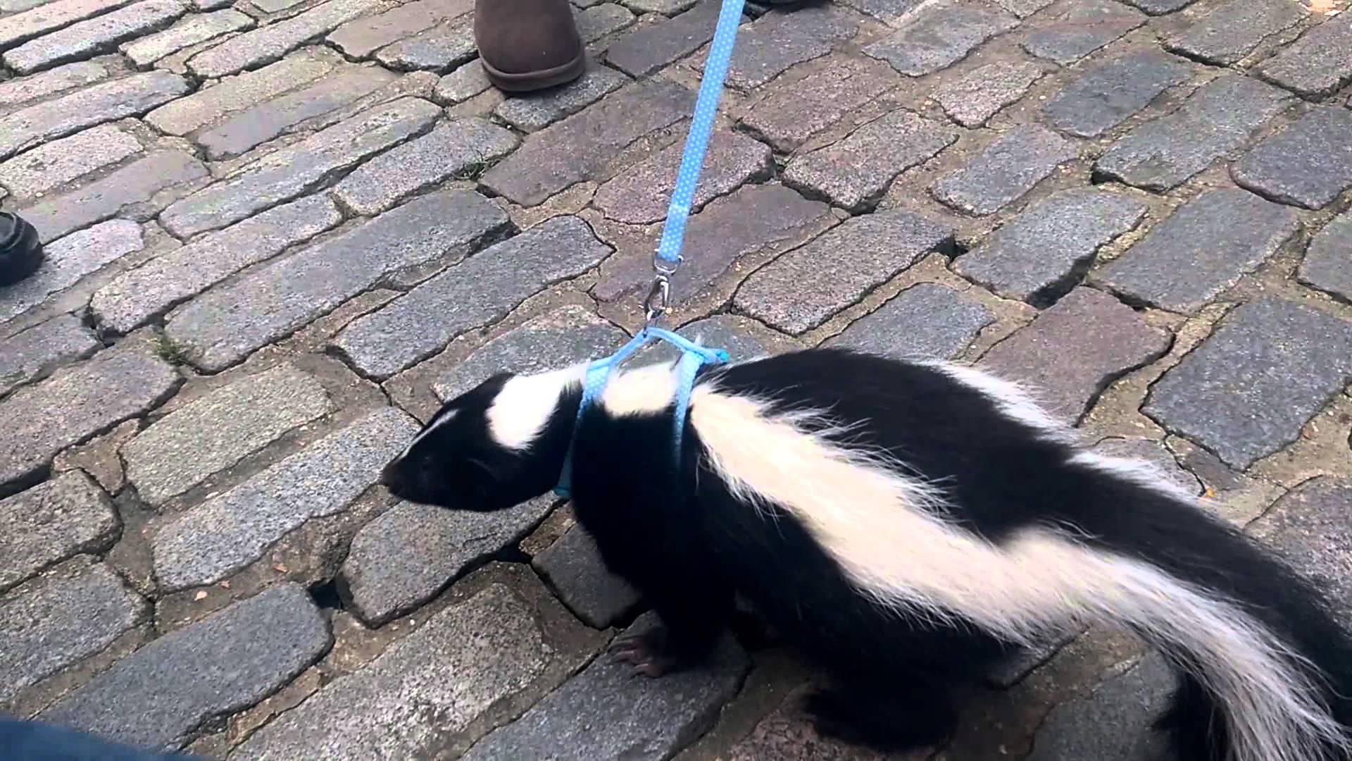 Considering a Pet Skunk? - Skunk.com
