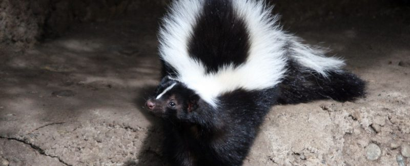 Common Problems Caused by Skunks