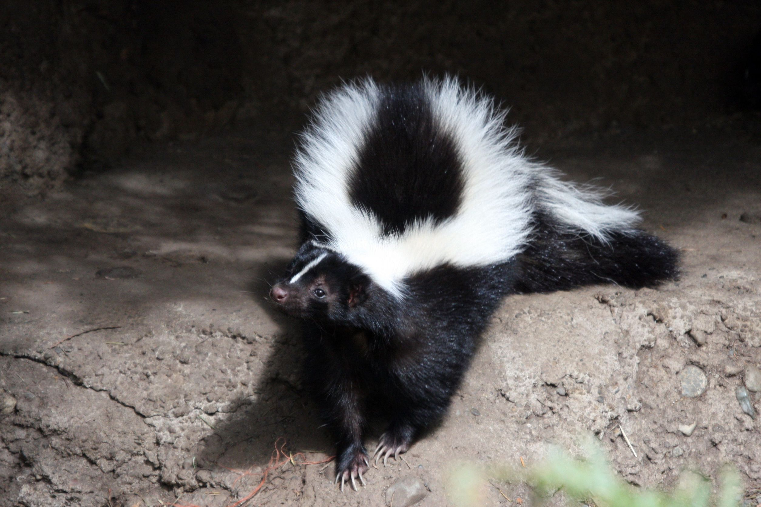 Common Problems Caused by Skunks - Skunk.com