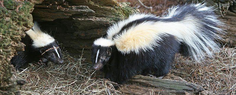 What Do Skunks Eat?