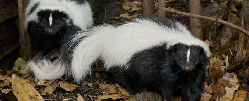 General Skunk Facts