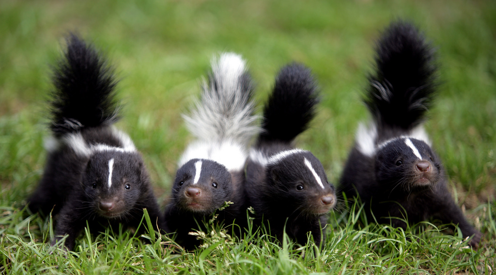 intro to skunks skunkcom - Skunk Pictures